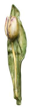 Anna's Tulip #3